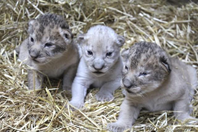 Les responsables du zoo du Nebraska ont annoncé mercredi qu'une lionne avait... (Photo Reuters)