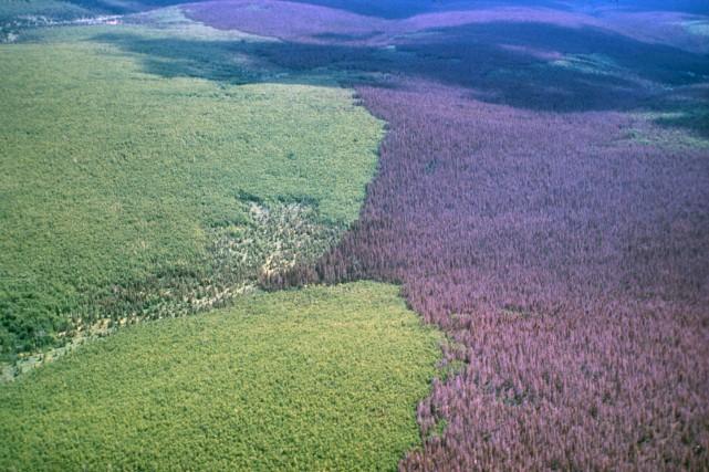 L'utilisation de bois contaminé est plus dispendieuse pour... (Photo fournie par Jacques Morissette, Ressources naturelles Canada)