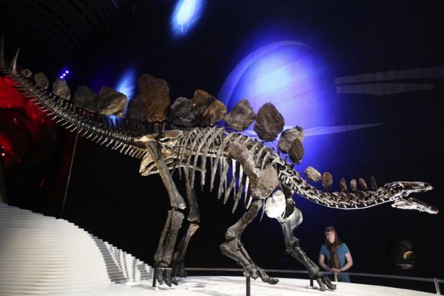 Un squelette exceptionnel de stégosaure, un dinosaure herbivore ayant vécu à la... (Photo: Reuters)