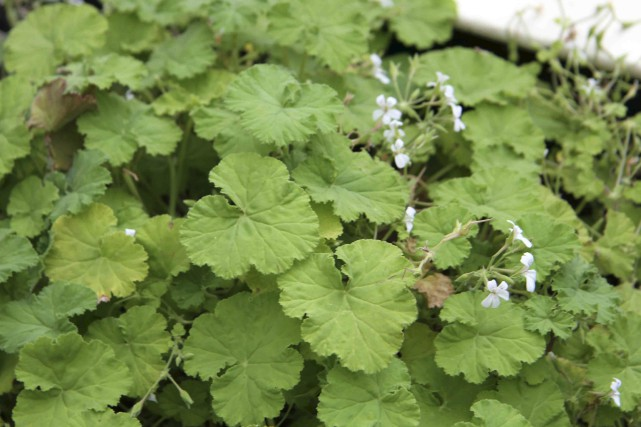 Pelargonium odoratissimum: ses feuilles veloutées sentent la pomme.... (PHOTO WWW.JARDINIERPARESSEUX.COM)