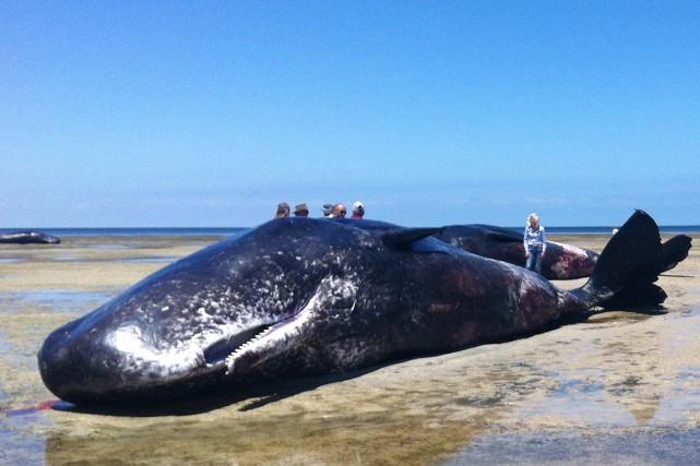Les cétacés, qui peuvent peser jusqu'à 50 tonnes,... (PHOTO AFP)