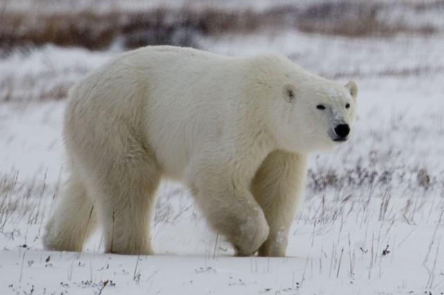 L'ours polaire fait partie des nombreuses espèces animales... (Photo archives La Presse Canadienne)