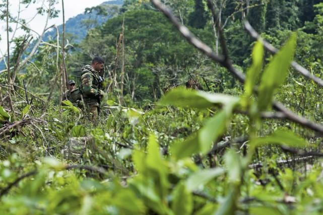 Des plantations de cannabis en forêt à la... (PHOTO MANAURE QUINTERO, REUTERS)