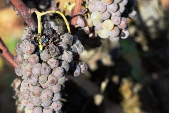 Avec seulement 3,838 Mhl, la récolte 2013 était... (PHOTO MEHDI FEDOUACH, ARCHIVES AFP)