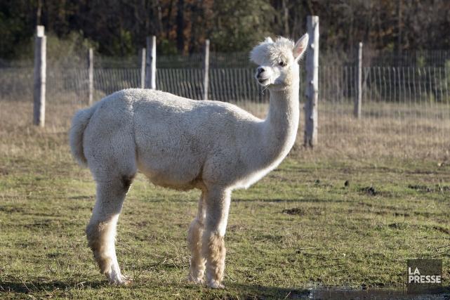 L'alpaga est un des rares animaux possédant une... (PHOTO ROBERT SKINNER, ARCHIVES LA PRESSE)