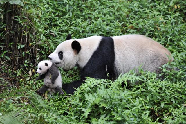 Une maman panda tient son petit par le... (Photo fournie par le Vieux-Port de Montréal)