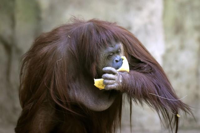 Dégustant paresseusement des fruits, l'orang-outan, Sandra, semblait lundi... (PHOTO JUAN MABROMATA, AFP)