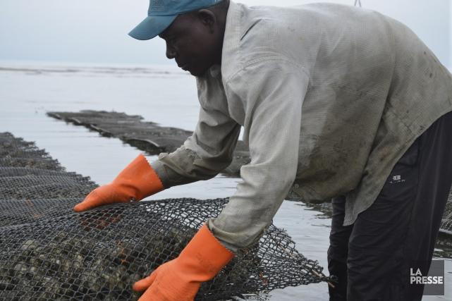 Les populaires huîtres Alanza sont récoltées le longdu...