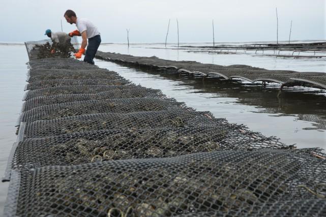 «Nées en France, élevées au Gabon»: les petites huîtres Alanza affichent... (Photo JEAN R. DABANY, AFP)