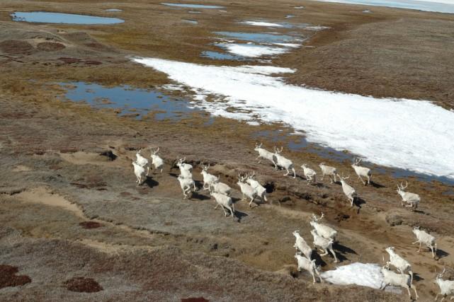 Le troupeau de la rivière aux Feuilles, qui... (Photo Joëlle Taillon)
