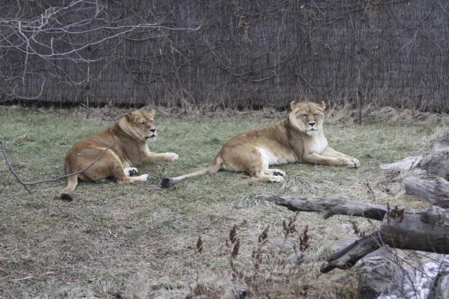 Les lionnes ont aussi pu profité du temps... (photo Julie Catudal)