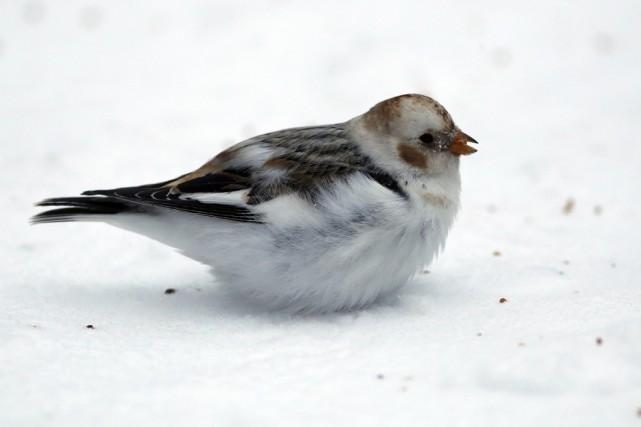 On voit ici le bruant des neiges, une... (photo Alain Dion)
