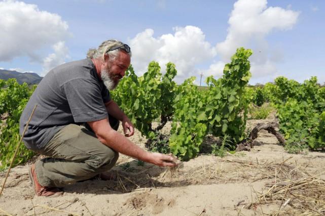 André Adriaan Badenhorst, est l'un de ces viticulteurs... (Photo JENNIFER BRUCE, AFP)
