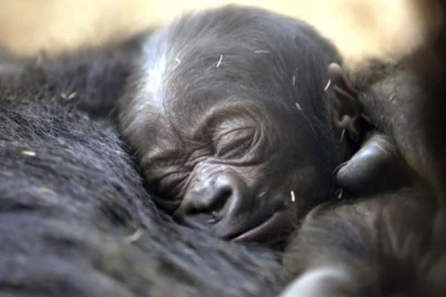 Une nouvelle tentative est effectuée pour trouver une mère d'adoption à un bébé... (Photo Maria Bernal-Silva, AP)