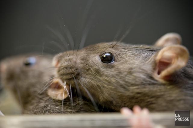 Un implant neuronal a permis à des rats rendus paraplégiques de remarcher et... (Photo David Boily, archives La Presse)