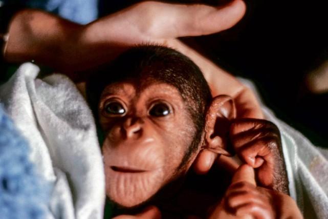 Le chimpanzéMaya, ici âgée de 2 mois en... (PHOTO GILLES BERGERON, FOURNIE PAR DANIEL PAQUETTE)