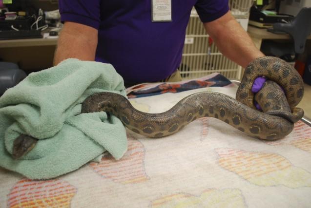 Un boa constrictor... (PHOTO REUTERS)