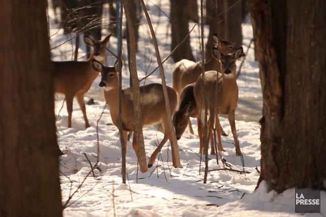 La récolte de cerfs a chuté l'automne dernier en Estrie, dans une proportion... (Archives La Presse)