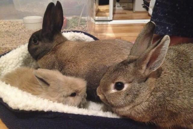 Dixie et Coup de Coeur, deux lapines appartenant... ((Courtoisie))