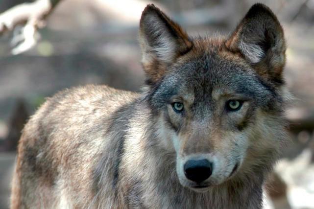 il y a environ 8500 loups en Colombie-Britannique.... (Photo Dawn Villella, archives Associated Press)