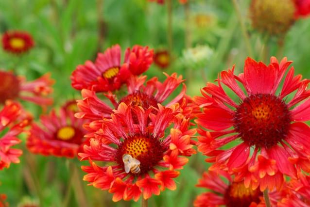 La Gaillardia Trumpet Red Selecta.... (National Garden Bureau)
