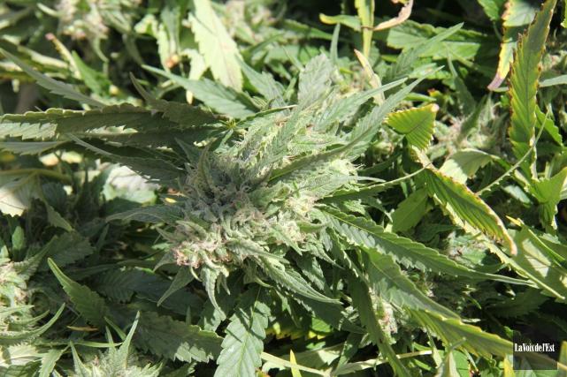 Un couple de Sherbrooke reconnu coupable de production de plus de 500 plants de... (Archives La Voix de l'Est)