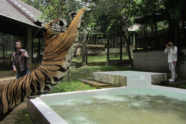 Les tigres du Tiger Kingdom de Chiang Mai,... (La Nouvelle, Jonathan Custeau)