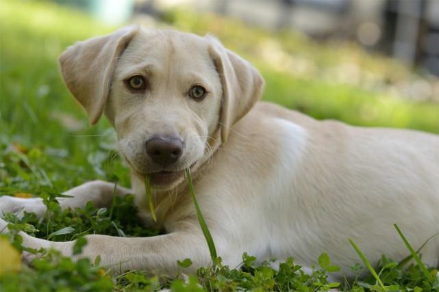 Les chiens mangent de l'herbe, mais aussi des... (PHOTO MASTERFILE)