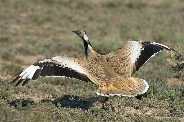 L'outarde houbara vit dans la steppe et les... (PHOTO IBC.LYNXEDS.COM)