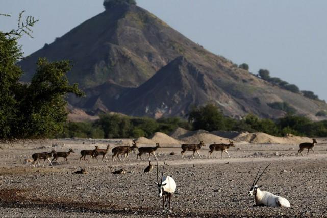 Des gazelles de montagne et du désert trouvent... (PHOTO KARIM SAHIB, AFP)