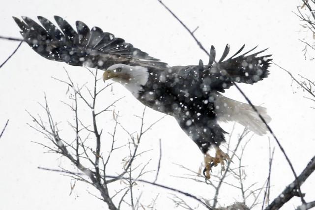 Un couple d'aigles à tête blanche, l'emblème national des États-Unis, a... (Photo: AP)