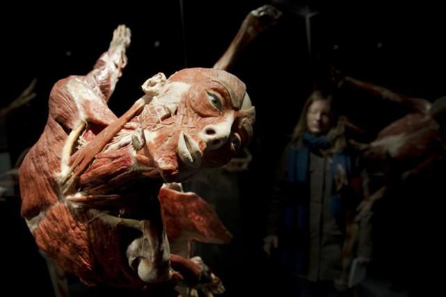 L'un des cadavres plastinés en exposition au musée.... (STEFANIE LOOS)