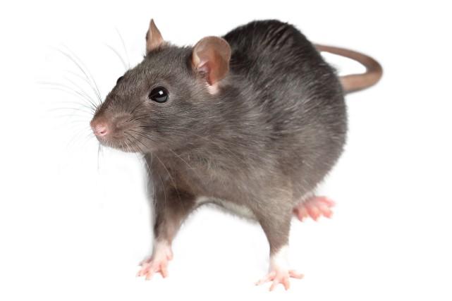 Les demandes d'intervention pour les rats ont augmenté... (Photo Shuttershock)