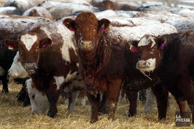 Un cas de maladie de la vache folle a été confirmé chez une vache de boucherie... (PHOTO ARCHIVES PC)