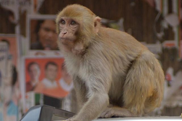 Un riche couple d'Indiens a désigné comme seul héritier son singe de compagnie,... (Photo Sajjad Hussain, archives AFP)
