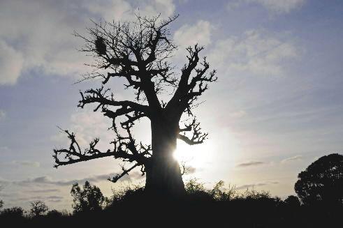 Un baobab... (PHOTO REUTERS)