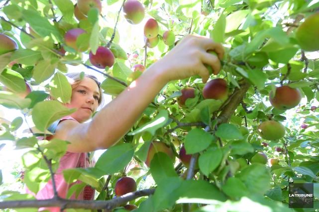 Ces pommes génétiquement modifiéesne sont pas autorisées au... (Photo d'archives Imacom, Maxime Picard)