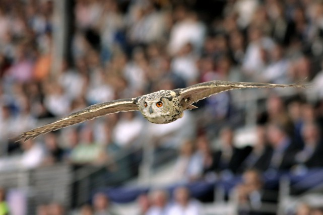 Le hibou grand-duc est une des plus grandes... (Photo Markku Ulander, archives AFP)