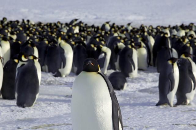 Le manchot Empereur est le plus grand et... (Photo: Reuters)