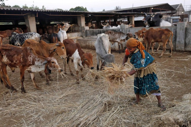 La majorité hindoue du pays considère les vaches... (PHOTO SHAILESH ANDRADE, ARCHIVES REUTERS)