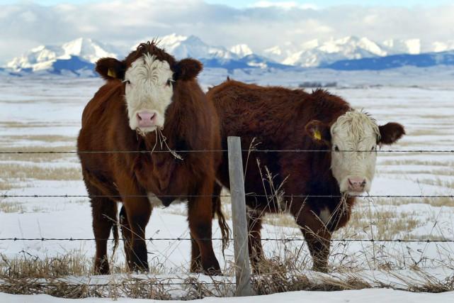 Le vétérinaire en chef du Canadaa indiqué qu'il... (PHOTO JEFF MCINTOSH, ARCHIVES PC)