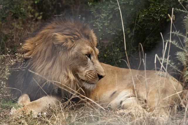 Un lion abyssinien... (PHOTO ZACHARIAS ABUBEKE, AGENCE FRANCE-PRESSE)