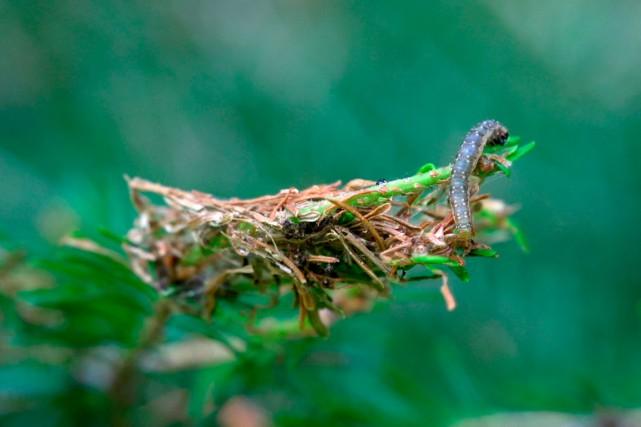 La tordeuse des bourgeons de l'épinette «va pas... (Photo fournie par Ressources naturelles Canada)