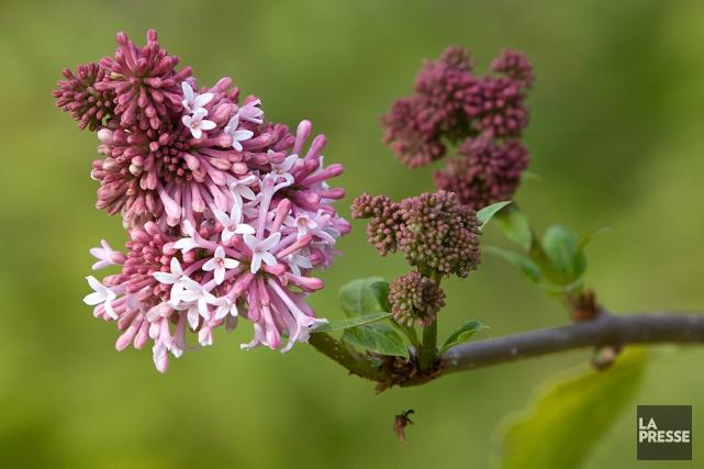 Le lilas appartient à la famille des oléacées... (PHOTO ROBERT SKINNER, ARCHIVES LA PRESSE)