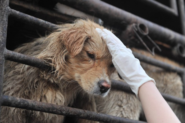 «En Chine, écorcher vif un chien ou pratiquer... (PHOTO ARCHIVES AGENCE FRANCE-PRESSE)