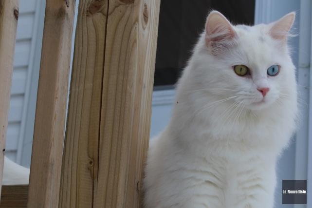 Les propriétaires de chats de La Tuque devront... (Photo: Audrey Tremblay, Le Nouvelliste)