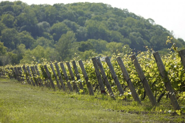 Un vignoble à St. Catherines, en Ontario... (Archives, Associated Press)