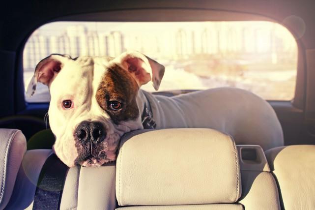 Votre chien devrait être attaché lors d'un déplacement... (PHOTO THINKSTOCK)