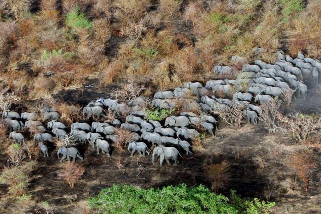 Il ne restait que 470000 éléphants à l'état... (PHOTO MICHAEL LORENTZ, ARCHIVES AFP)