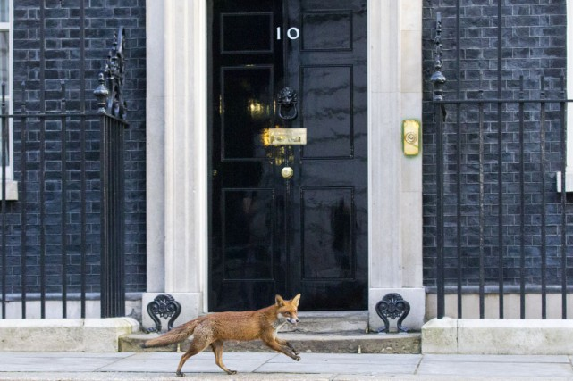 Un renard passe devant le 10 Downing Street,... (PHOTO JUSTIN TALLIS, ARCHIVES AFP)